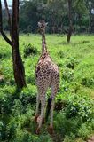 Giraffmitt Nairobi Royaltyfria Foton