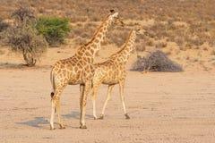 Giraffpar Royaltyfri Foto