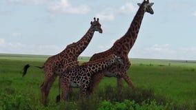 Giraffpar med behandla som ett barn arkivfilmer