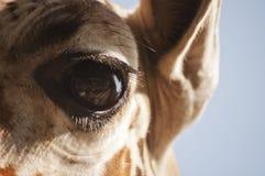 Giraffs öga Fotografering för Bildbyråer
