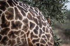 Giraffs назад выбранное птицами Стоковые Фото