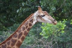 Giraffs huvud Arkivbild