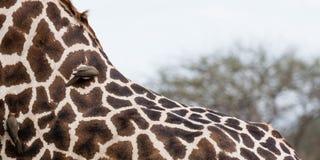 Giraffs plecy podnoszący ptakami Zdjęcia Royalty Free