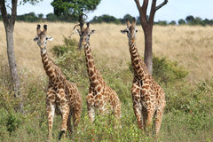African Giraffes  Royalty Free Stock Photography