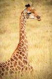 Giraffsammanträde på fältet Royaltyfri Bild