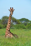 giraffsavannah Royaltyfria Foton