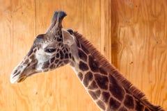 Giraffsideview i ladugård Royaltyfria Bilder