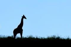 giraffsilhouette Royaltyfria Foton