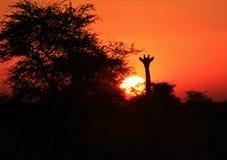 GiraffSilhouettesolnedgång 2 - Afrika!!! Arkivbilder