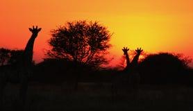 GiraffSilhouettesolnedgång 3 - Afrika!!! Royaltyfria Bilder
