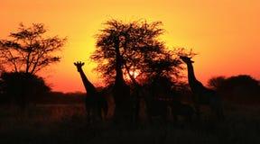 GiraffSilhouettesolnedgång - Afrika!!! Arkivfoton