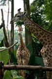 giraffsingapore zoo Fotografering för Bildbyråer