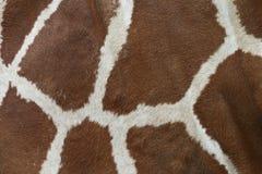 Giraffskinn Royaltyfria Foton