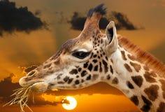 Giraffsolnedgång i Afrika Royaltyfria Bilder