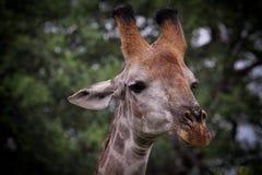 giraffstående Royaltyfria Foton
