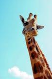 giraffstående royaltyfri fotografi