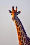 Giraffstående i aftonljus Fotografering för Bildbyråer
