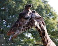 Giraffstående i en profil Arkivbilder