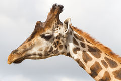 giraffstående Royaltyfri Foto