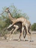 Giraffstridighet fotografering för bildbyråer