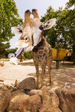 Girafftunga Arkivfoto