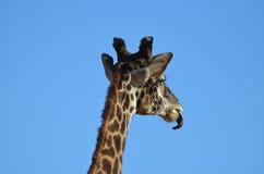 Girafftunga som slickar hans haka Royaltyfri Bild