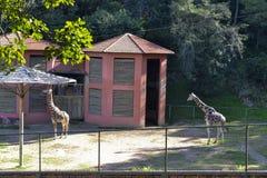 Giraffzoo royaltyfri foto