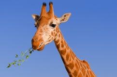 Girafgezicht royalty-vrije stock afbeeldingen