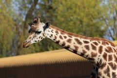 Girafhoofd en Hals Stock Afbeelding