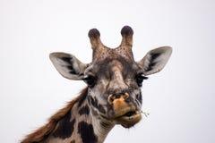 Girafhoofd met grappig gezicht stock afbeeldingen