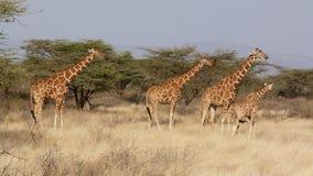 Girafmasai mara Royalty-vrije Stock Foto's