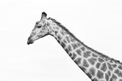 Girafportret 1 Stock Fotografie