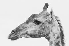 Girafportret 2 Stock Fotografie