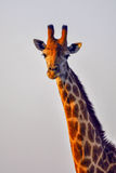 Girafportret in avondlicht Stock Afbeelding