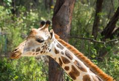 Girafportret in Haller-park, Mombasa, Kenia stock afbeelding