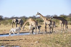 Girafs, elephants and zebras at the waterhole of Namutomi Camp in Etosha stock images