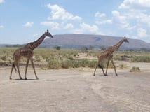 Girafs w Tanzania safari Zdjęcie Royalty Free