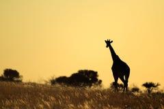Girafsilhouet stock foto