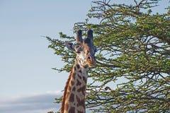 Girafstarende blik Stock Foto