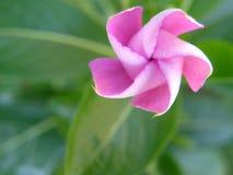 Girandola rosa della vinca Fotografia Stock Libera da Diritti