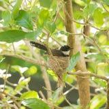 Girante laterale pezzato sul nido Fotografia Stock