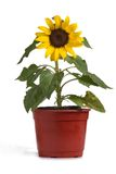 Girasol_0171. Sunflower growing in a flowerpot stock photo