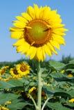 Girasol Imagen de archivo