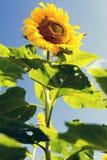 Girasol Imagen de archivo libre de regalías