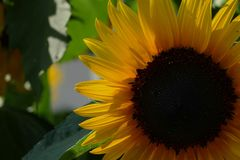 Girasol Foto de archivo libre de regalías