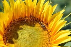 Girasol agradable Foto de archivo libre de regalías