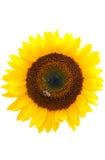 Girasol aislado en blanco Imagen de archivo