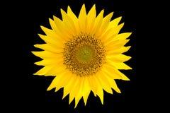 Girasol aislado en fondo negro Flor amarilla del verano Imagen de archivo