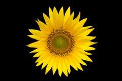 Girasol aislado en fondo negro Flor amarilla del verano Imágenes de archivo libres de regalías