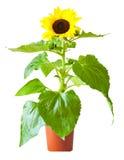 girasol aislado en vástago y la hoja de la flor de white Foto de archivo